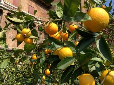 Orangenbäume in Ferrara